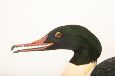 Photo: A common merganser or goosander (Mergus merganser) at the Plzen Zoo,