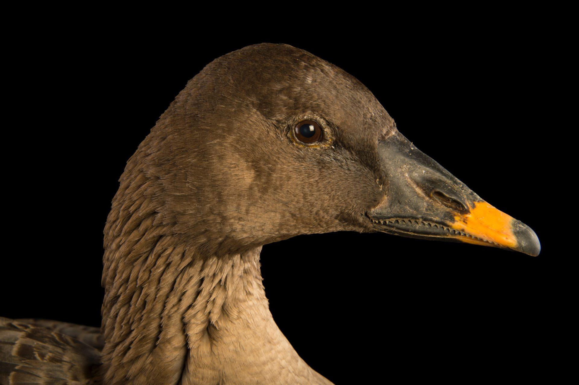 Photo: A bean goose (Anser fabalis) at the Plzen Zoo.
