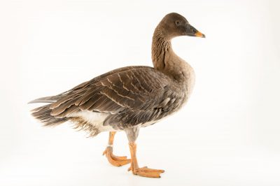 Photo: A bean goose (Anser fabalis) at the Plzen Zoo.