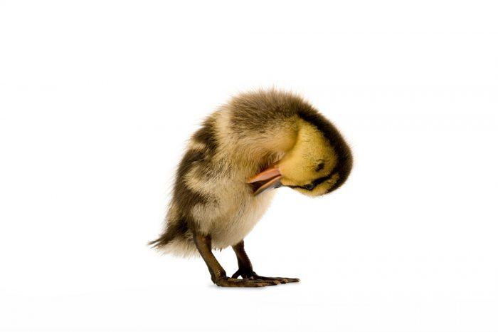 Photo: A Mallard duckling, Anas platyrhynchos.