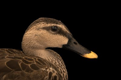 Photo: A spot-billed duck (Anas poecilorhyncha haringtoni) at Phnom Tamao Wildlife Rescue Center - Wildlife Alliance.