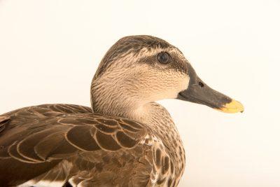 Photo: A spot-billed duck (Anas poecilorhyncha haringtoni) at Phnom Tamao Wildlife Rescue Center - Wildlife Alliance.