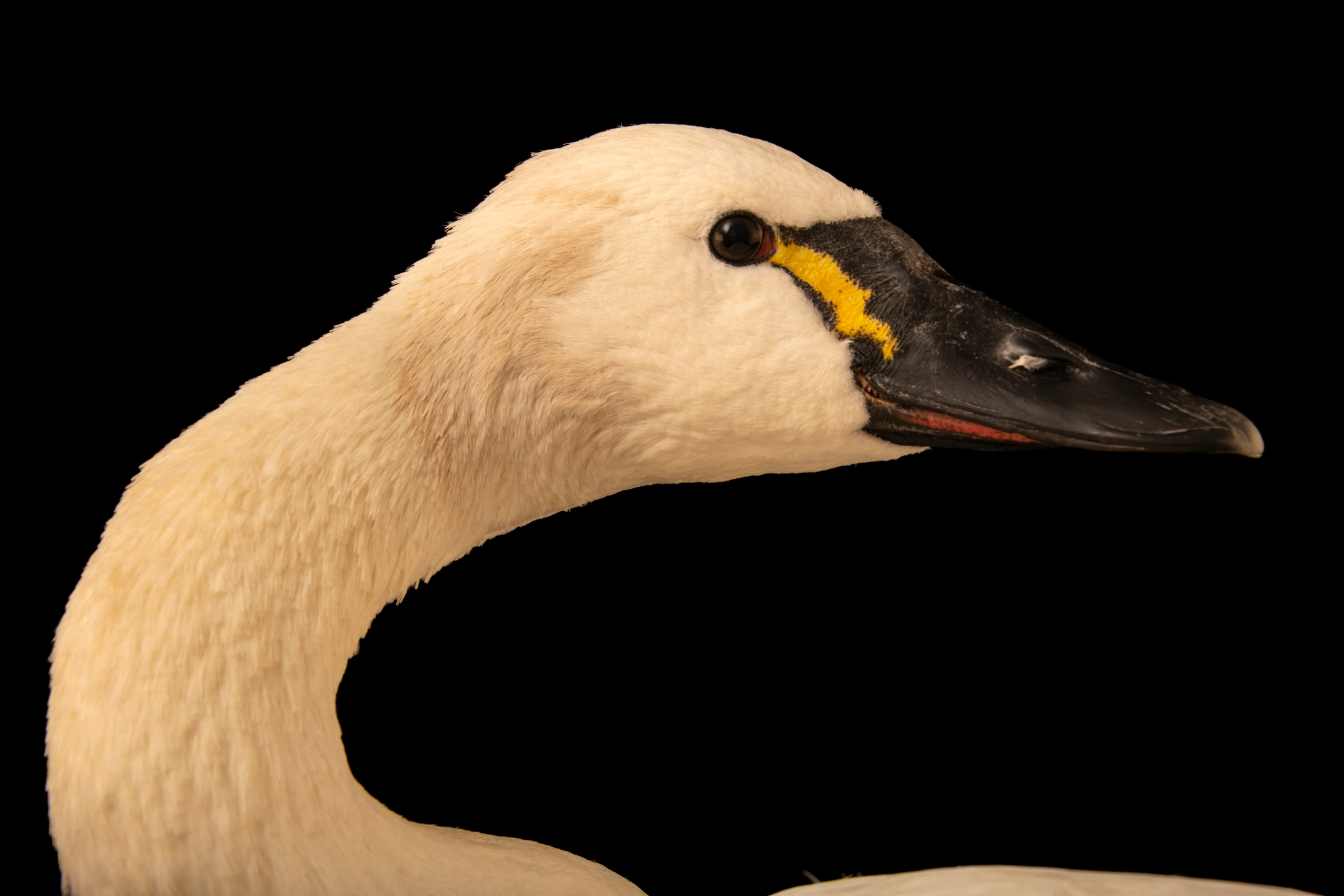 A tundra swan (Cygnus columbianus columbianus) at the Carolina Waterfowl Rescue.
