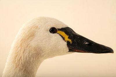 A tundra swan (Cygnus columbianus columbianus) at the Carolina Waterfowl Rescue.