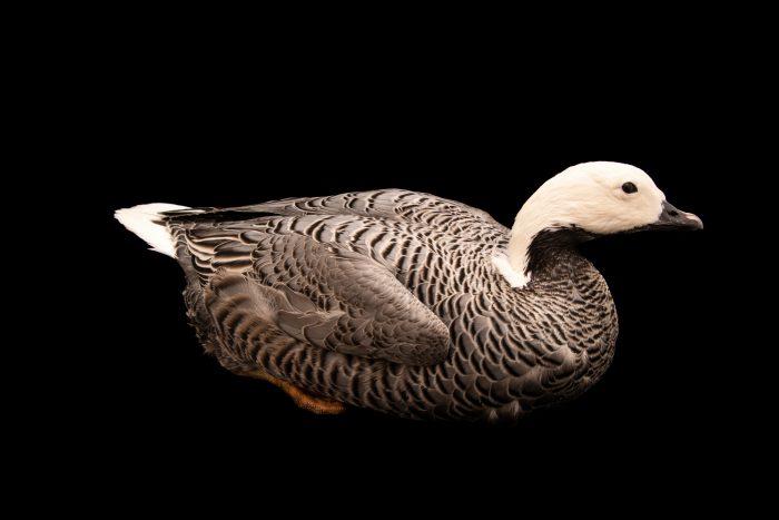Photo: Emperor goose (Anser canagica) at Monticello Center in Italy.