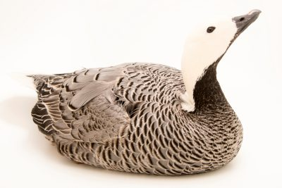 Photo: Emperor goose (Anser canagica) at Monticello Center in Italy.