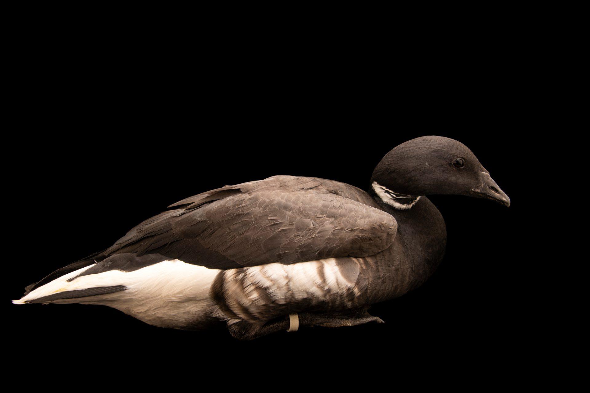 Photo: Pacific brant goose (Branta bernicla orientalis) at Monticello Center in Italy.