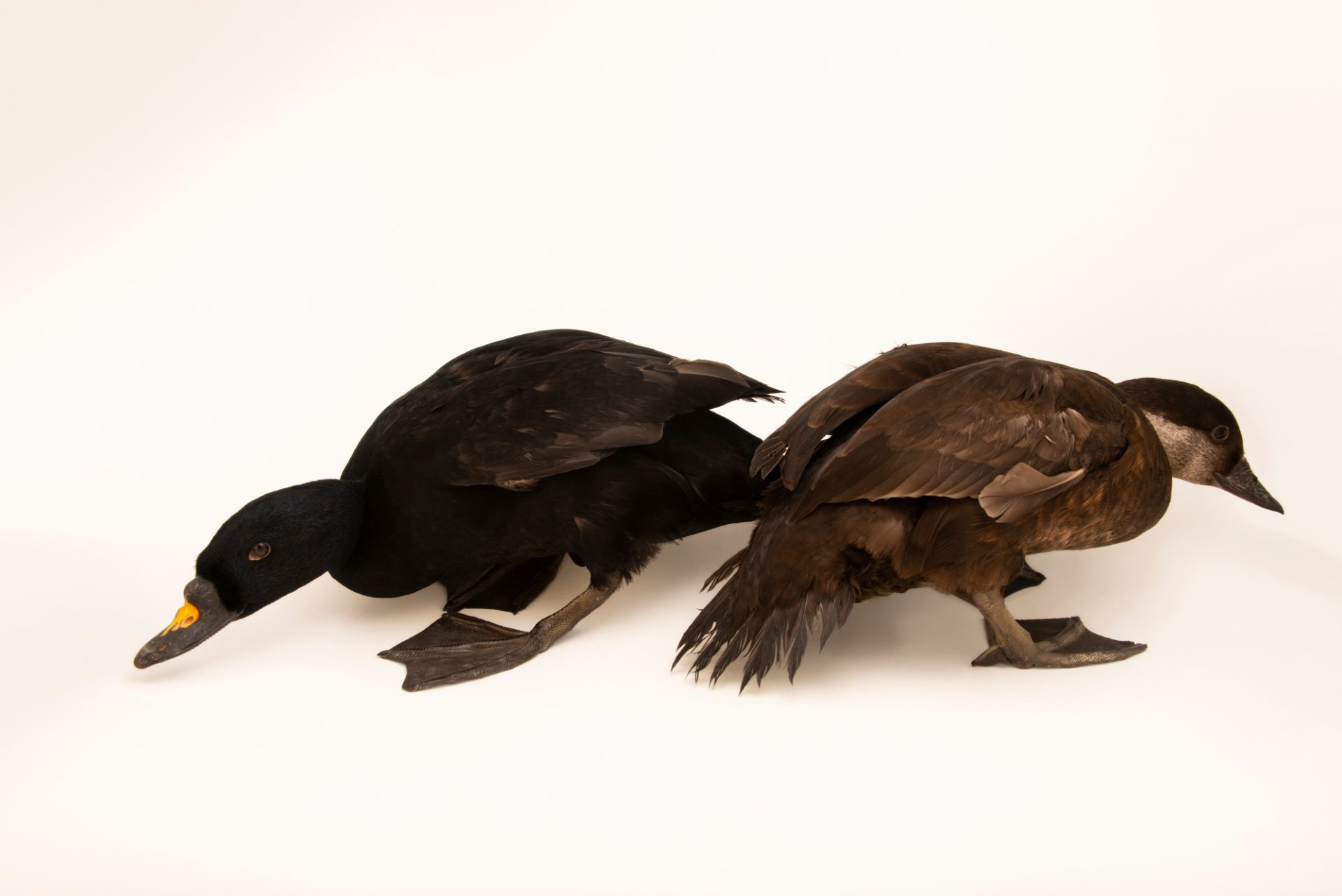 Photo: Male and female common scoters (Melanitta nigra) at Monticello Center in Italy.