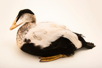 Photo: A male Pacific eider (Somateria mollissima v-nigra) at Monticello Center in Italy.