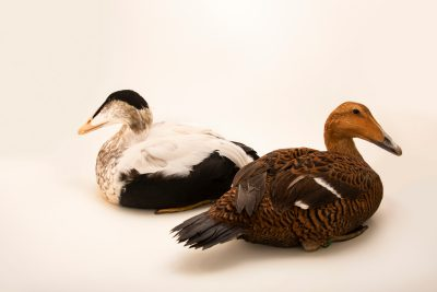 Photo: Male and female Pacific eider (Somateria mollissima v-nigra) at Monticello Center in Italy.