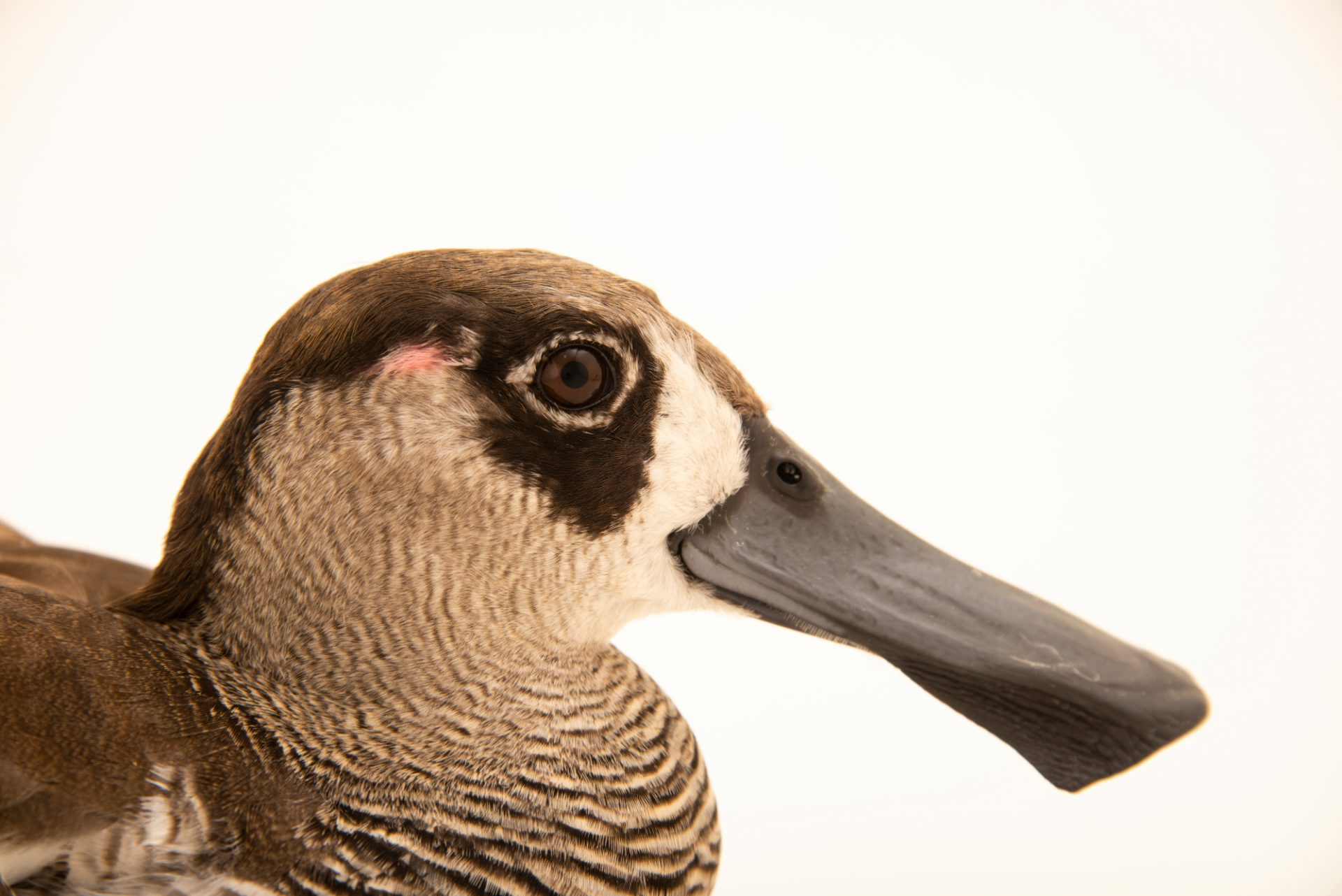 Photo: Pink eared duck (Malacorhynchus membranaceus) at Monticello Center in Italy.