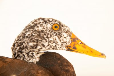 Photo: An endangered White-winged Duck (Asarcornis scutulata) at the Angkor Centre for Conservation of Biodiversity (ACCB) in Siem Reap, Cambodia.