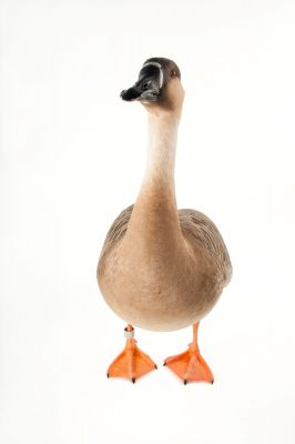 Photo: A swan goose (Anser cygnoides) at the Miller Park Zoo. This species is listed as vulnerable on the IUCN Red List.
