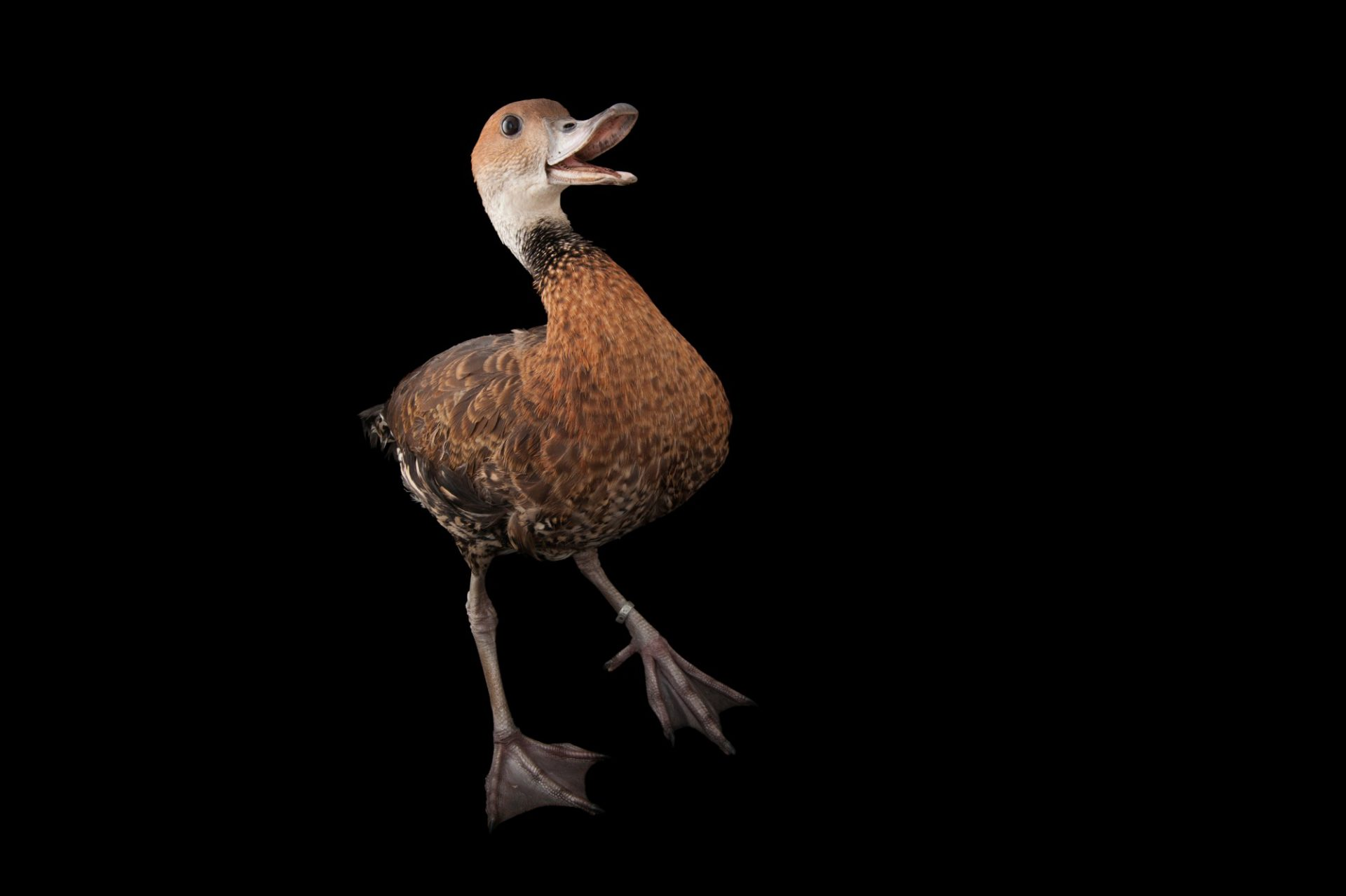Photo: A West Indian Whistling-duck (Dendrocygna arborea) at the Miller Park Zoo. This species is listed at vulnerable on the IUCN Red List.