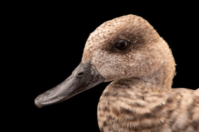 Photo: A female marbled teal (Marmaronetta angustirostris) at Tierpark Berlin.