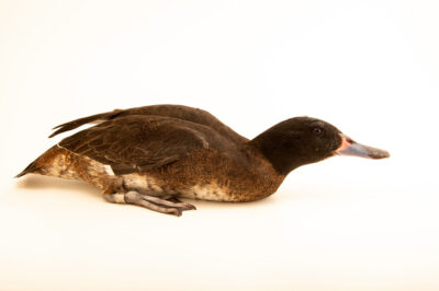 Photo: A male black-headed duck (Heteronetta atricapilla) at Sylvan Heights Bird Park in Scotland Neck, North Carolina.