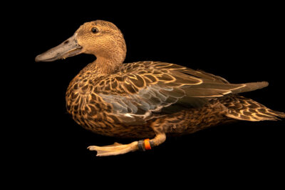 A female Cape shoveler (Spatula smithii) at Safari Park Dvur Kralove.