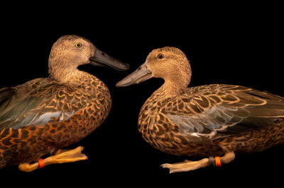 Two Cape shovelers (Spatula smithii) at Safari Park Dvur Kralove. The male has more color.