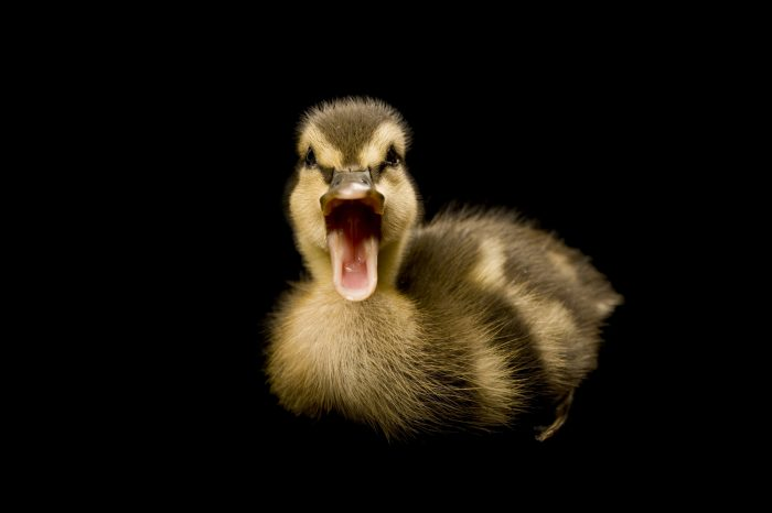 Photo: A Mallard duckling, Anas platyrhynchos, in Lincoln, Nebraska.