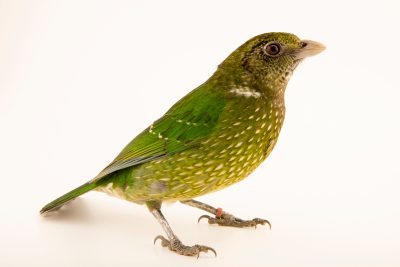 Photo: Green catbird (Ailuroedus crassirostris) at Healesville Sanctuary.