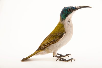 Photo: A male green-headed sunbird (Cyanomitra verticalis) from a private collection.