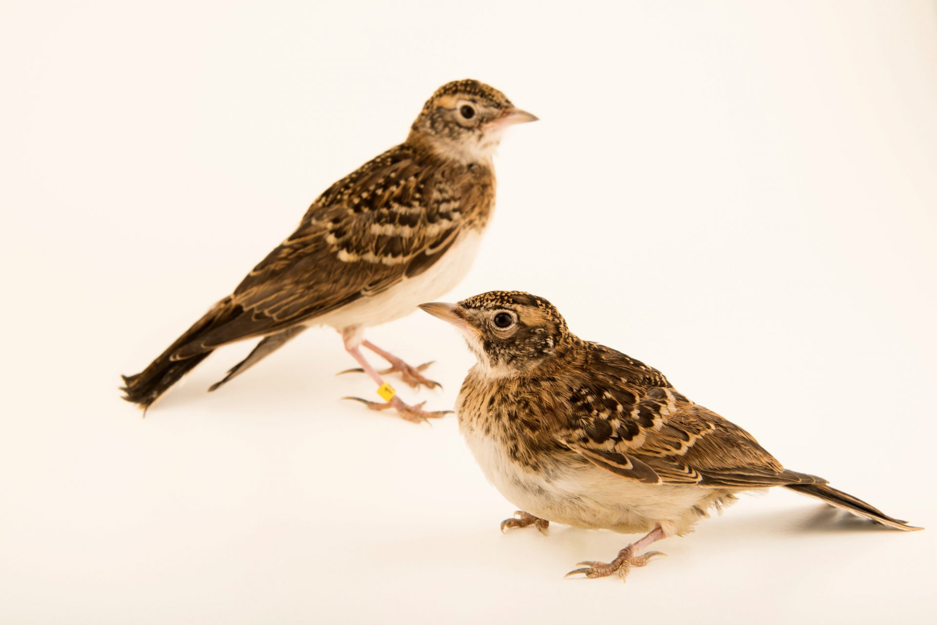 Photo: Horned lark chicks (Eremophila alpestris) at the Wildlife Rehabilitation Center in Roseville, Minnesota.