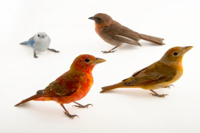A red throated ant tanager (Habia fuscicauda erythrolaema), hepatic tanager (Piranga flava), blue-grey tanager (Thraupis episcopus) at the National Aviary of Colombia (Aviario Nacional de Colombia).