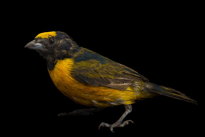 Photo: Orange-crowned euphonia (Euphonia saturata) at the National Aviary of Colombia (Aviario Nacional de Colombia).