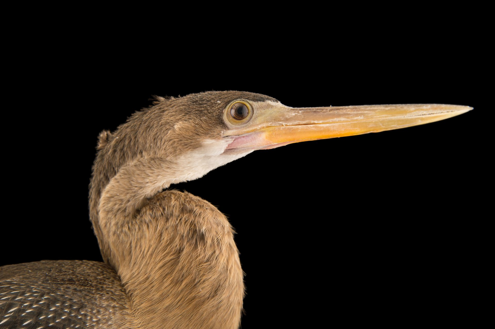 Photo: Anhinga (Anhinga anhinga) at the National Aviary of Colombia (Aviario Nacional de Colombia).
