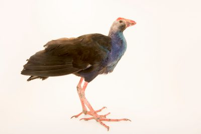Photo: A purple swamphen (Porphyrio porphyrio viridis) at Phnom Tamao Wildlife Rescue Center - Wildlife Alliance.