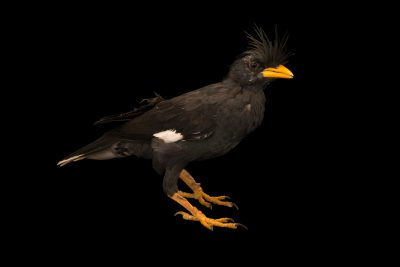 Photo: A great myna (Acridotheres grandis) at Phnom Tamao Wildlife Rescue Center - Wildlife Alliance.