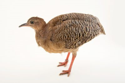 Photo: Red-legged tinamou (Crypturellus erythropus) at the National Aviary of Colombia.