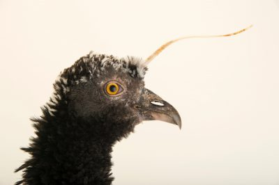 Photo: Horned screamer (Anhima cornuta) at the National Aviary of Colombia.