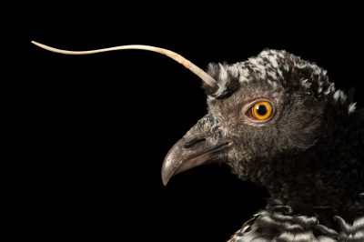 Photo: Horned screamer (Anhima cornuta) at the National Aviary of Colombia.