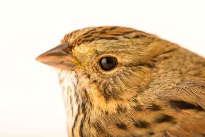 Photo: Lincoln's sparrow, Melospiza lincolnii, at the Wildlife Rehabilitation Center of Minnesota.