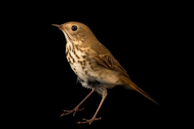 Photo: Hermit thrush, Catharus guttatus, at the Wildlife Rehabilitation Center of Minnesota.