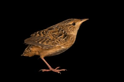 Photo: Sedge wren, Cistothorus platensis, at the Wildlife Rehabilitation Center of Minnesota.