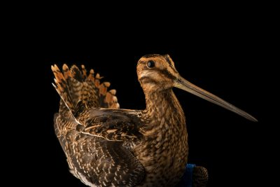 Photo: Wilson's snipe, Gallinago delicata, at the Wildlife Rehabilitation Center of Minnesota.