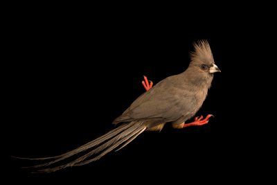 Photo: A white-backed mousebird (Colius colius) at the Dallas Zoo.