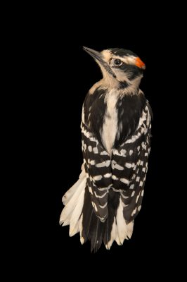 Photo: A female downy woodpecker (Picoides pubescens) at Rogers Wildlife Rehabilitation Center.