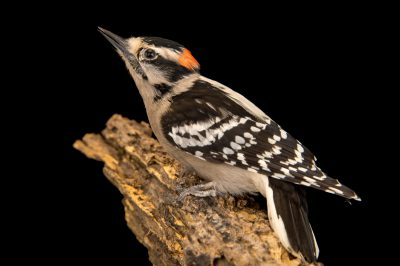 A female downy woodpecker (Dryobates pubescens pubescens) at Rogers Wildlife Rehabilitation Center.