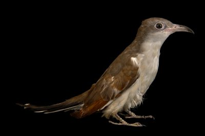 Photo: Yellow-billed cuckoo (Coccyzus americanus) at Rogers Wildlife Rehabilitation Center.