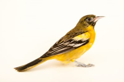 Photo: An immature (first year) Baltimore oriole (Icterus galbula) at Rogers Wildlife Rehabilitation Center.