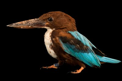 Photo: White-throated kingfisher (Halcyon smyrnensis) at the Houston Zoo.