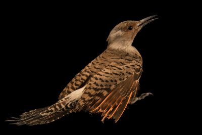 Photo: A red-shafted flicker (Colaptes auratus cafer) at Nebraska Wildlife Rehab.