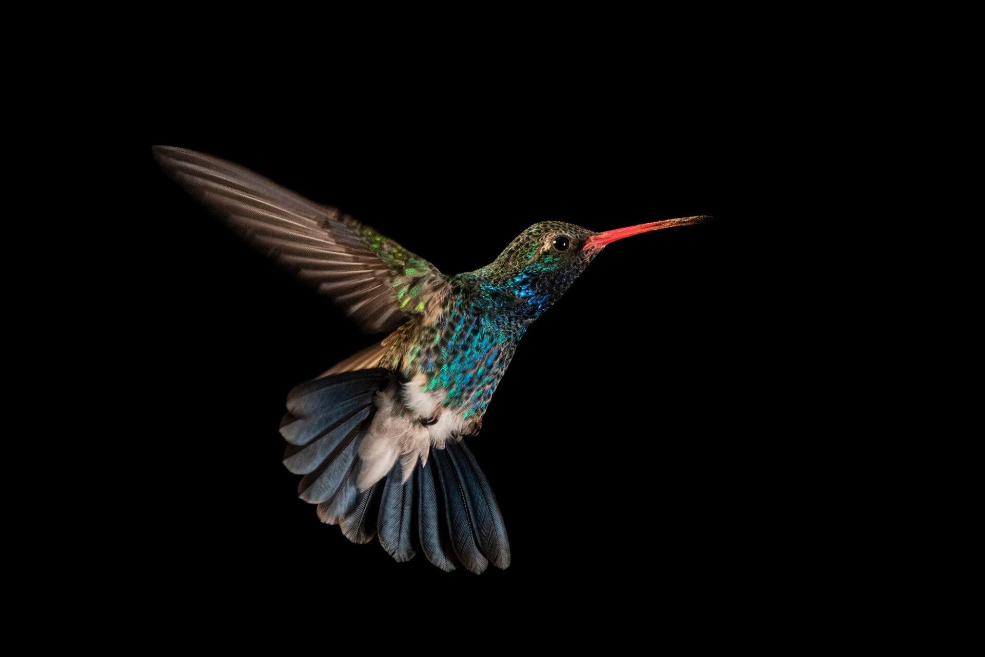 Photo: Male broad-billed hummingbird (Cynanthus latirostris) at the Omaha Zoo.