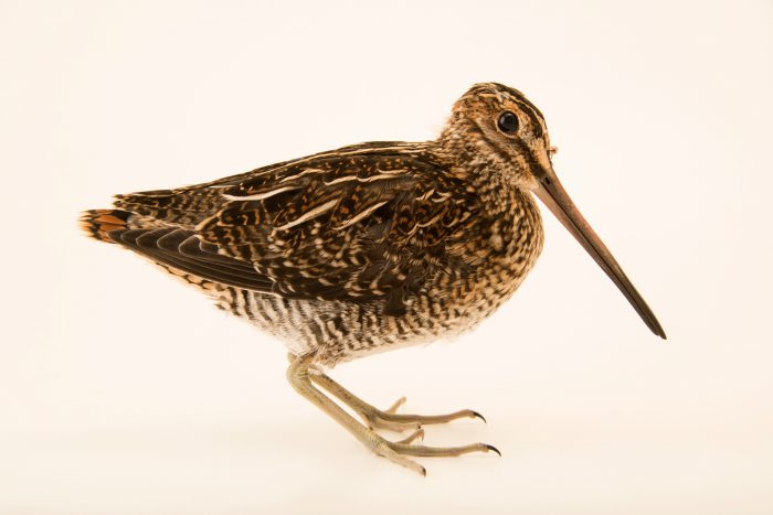 Photo: Wilson's snipe (Gallinago delicata) at the Wildlife Rehabilitation Center of Minnesota.