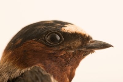 Photo: Cliff swallow (Petrochelidon pyrrhonota) at Bay Beach Wildlife Sanctuary