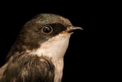 Photo: Tree swallow (Tachycineta bicolor) at Bay Beach Wildlife Sanctuary