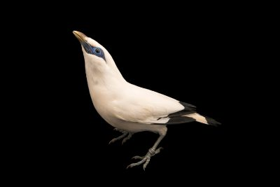 Photo: Critically endangered Bali myna or Bali starling (Leucopsar rothschildi) at Lisbon Zoo.